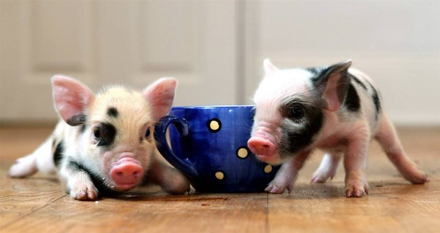 Cute mini pigs next to a large tea cup