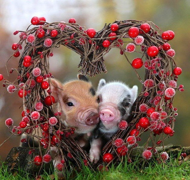 miniature pigs in a heart shaped collection of branches and twigs