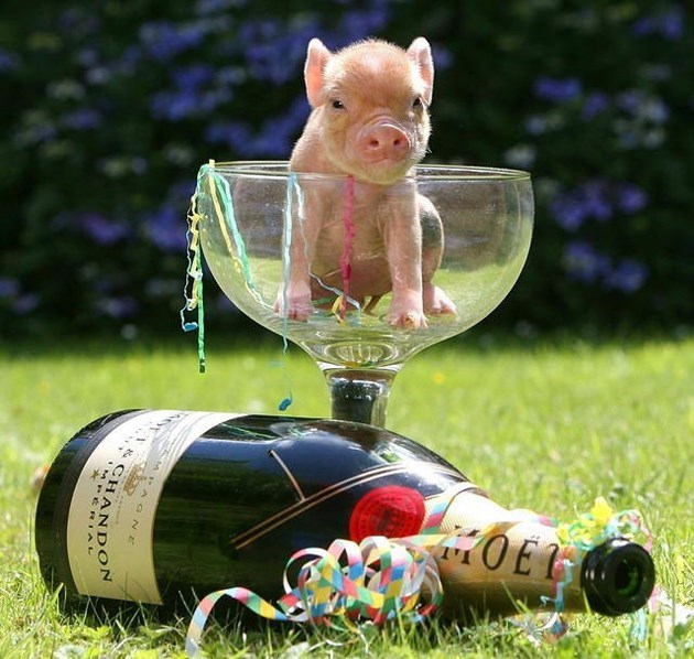 Mini pig in a champagne glass next to a magnum bottle