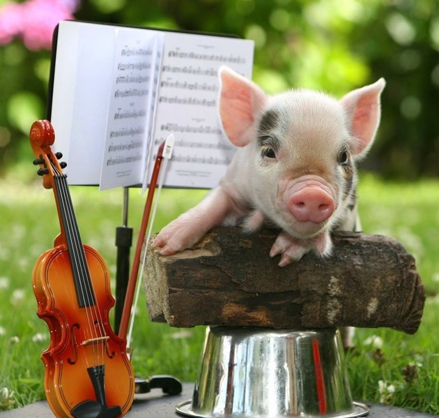 Cute mini pig next to mini violin and mini musical notes book