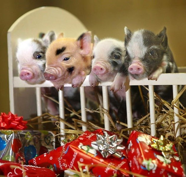 Mini pigs in a baby crib