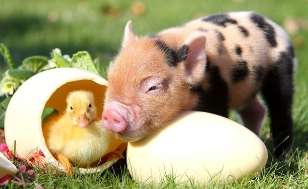 Mini pig happy to meet a chick