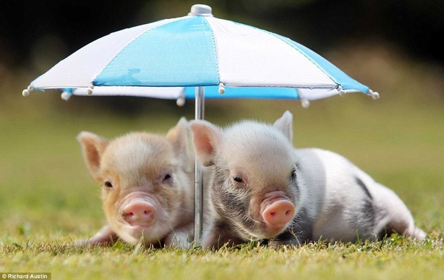 Mini pigs under a small umbrella to get some shade from the sun.