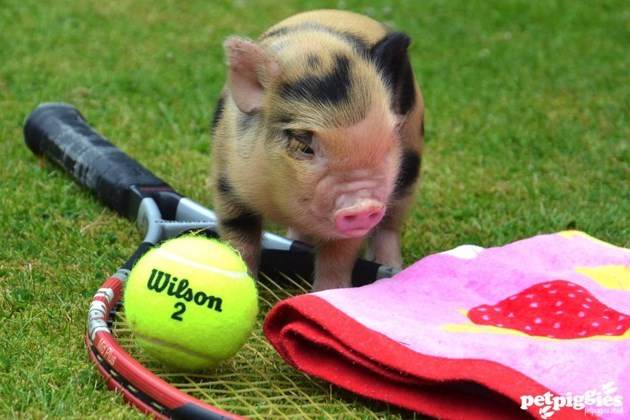 Miniature pig checking out some tennis equipment