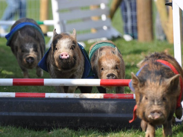 Mini pigs racing