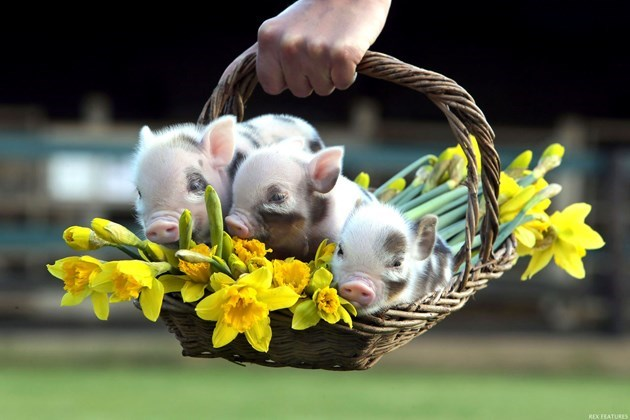 Basket full of mini pigs