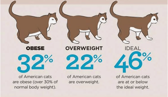 Simple chart that explains how to tell if your cat is overweight, obese, or ideal