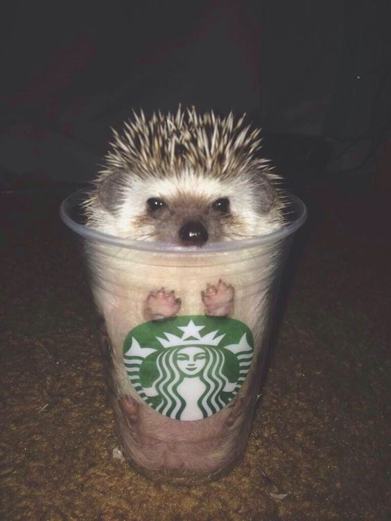 cute hedgehog in a clear Starbucks cup