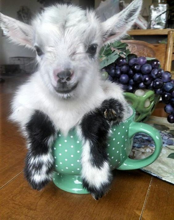 adorable baby goat in a large coffee mug