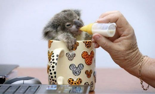 Adorable baby Koala in a coffee mug.