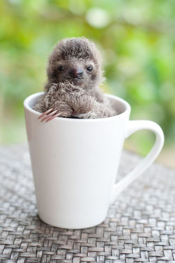 not creepy at all baby sloth in a coffee cup