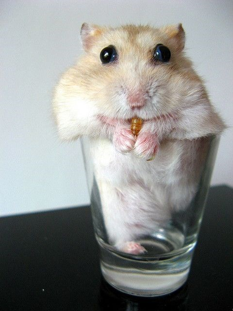 Hamster chewing on something in a shot glass