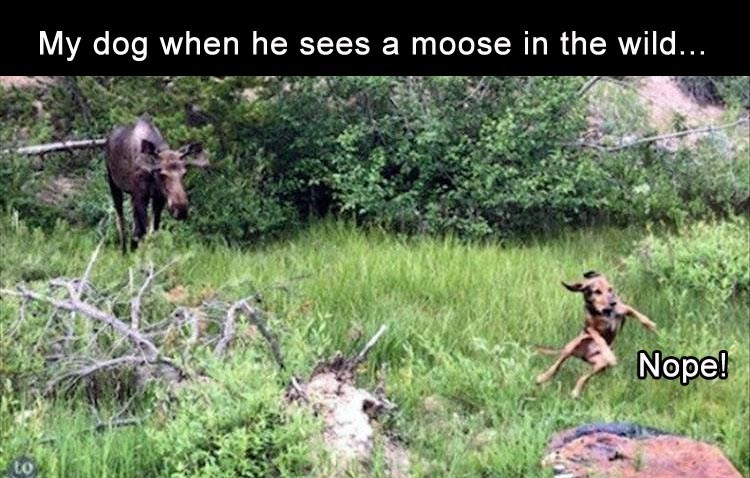 dog pulling off a huge NOPE upon seeing a moose in the wild.