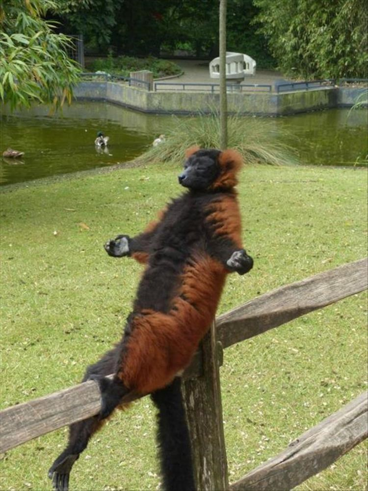 Lemur scratching his butt on the fence