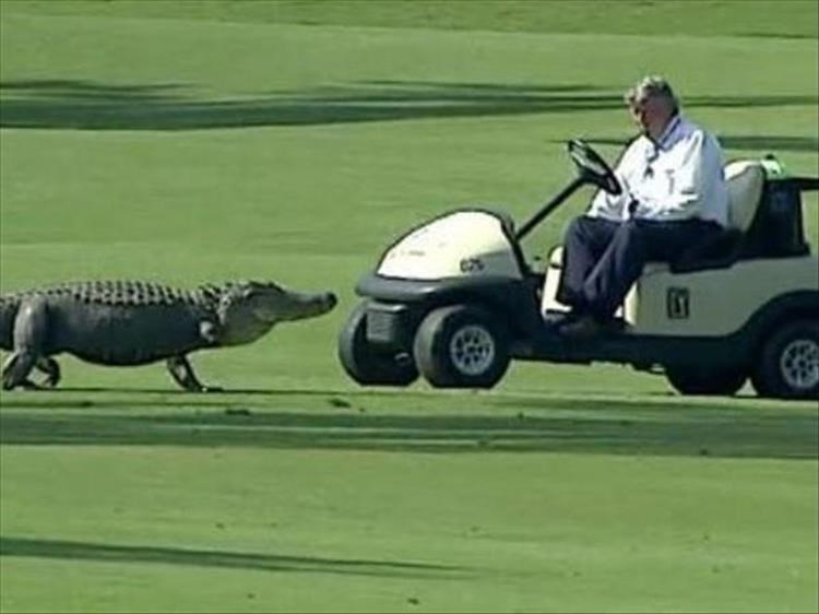 Man on a golf cart next to an alligator on the golf course.