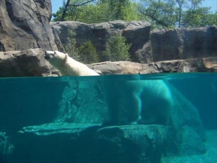 Perfect timing photo of a bear half under water, half not, with the refraction causing some strange effects.