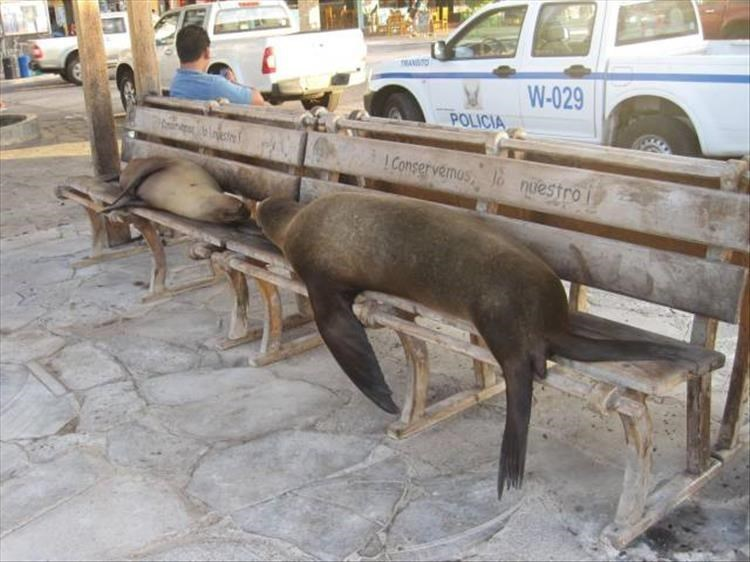 Sea lions passed out on street benches