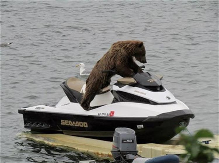 Bear boarding a jet ski sea-doo with caption joking that he forgot how to put it in reverse.