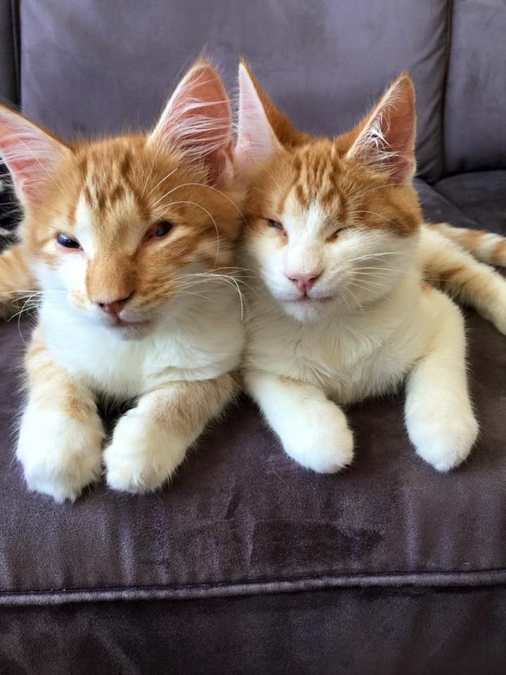 Twin brother cats side by side next to each other on a sofa.