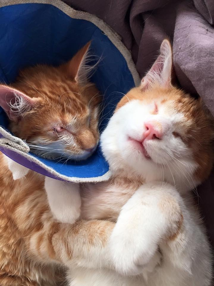 the two cats next to each other after one had surgery which saved one of his eyes.