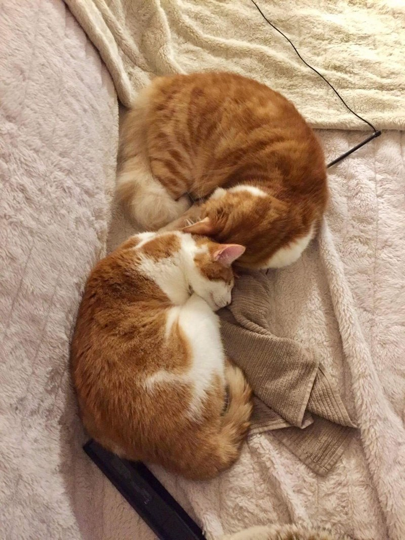 Cats sleeping snuggled up to each other