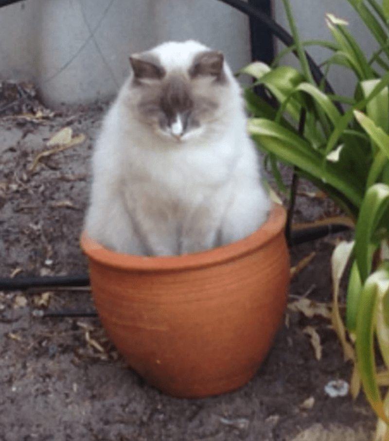 White fluffy cat sitting in an orange flower pot
