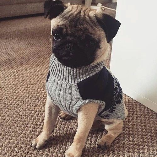 Pug dog wearing a sweater vest