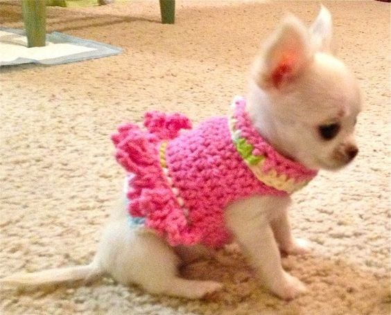 Chihuahua wearing a pink knitted vest.