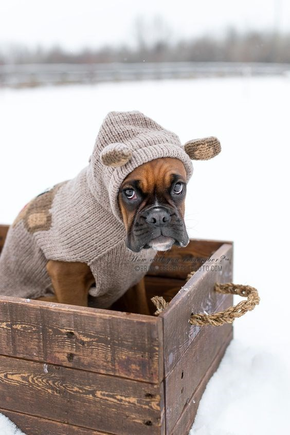 Bulldog in a box in the snow wearing a sweater with cute ears.