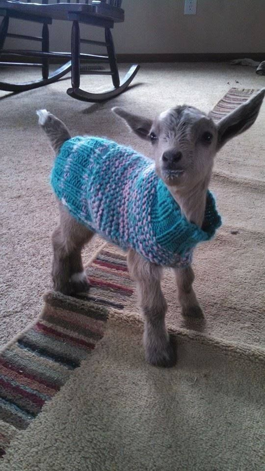 Baby goat indoors wearing a sweater