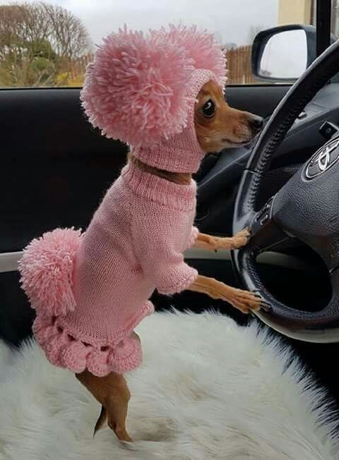 Poodle wearing a frilly pink sweater outfit trying to drive a Toyota with furry seat covers