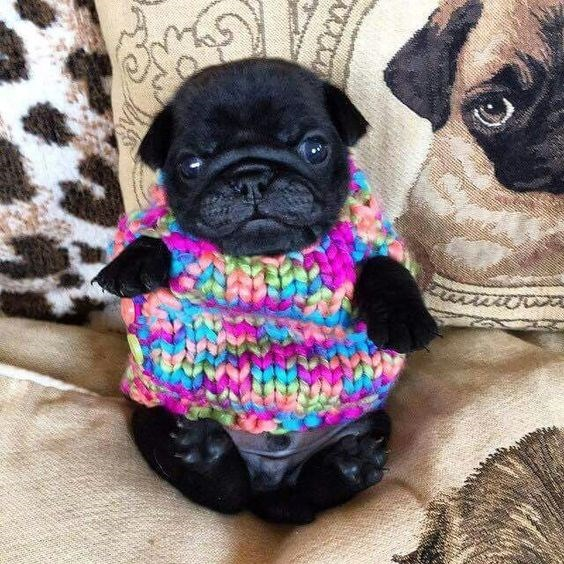 Pug wearing a very colorful sweater