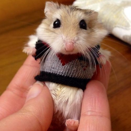 Adorable little hamster wearing a sweater