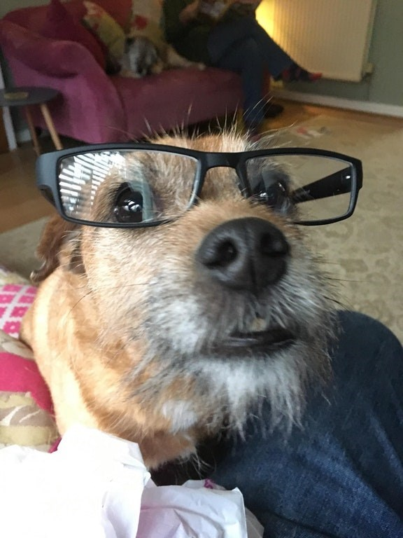 Hipster dog wearing thick framed reading glasses.