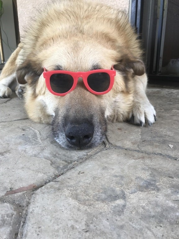 Cool dog wearing 80's style Tom Cruise sunglasses