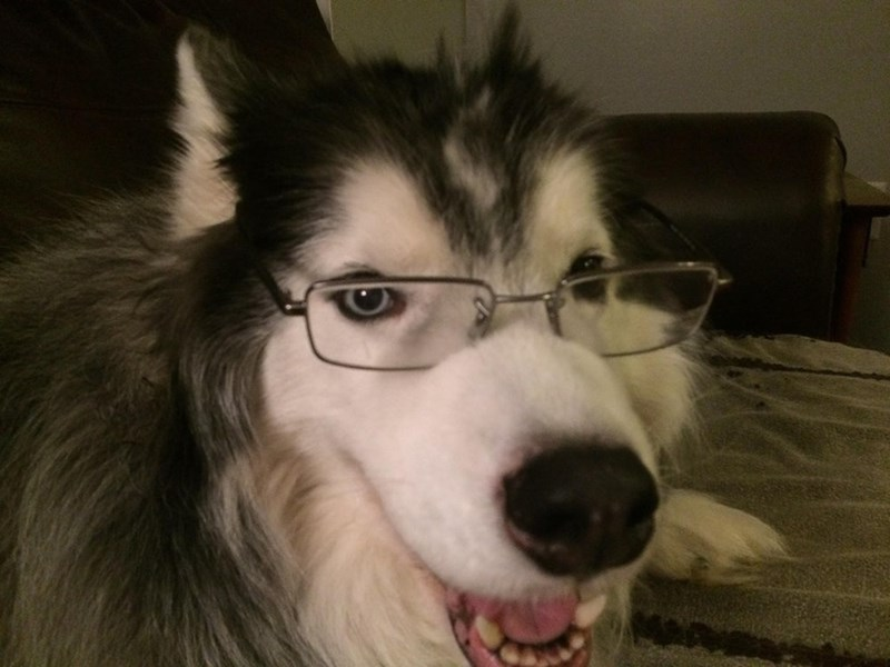 Dog wearing reading glasses looks smarter than me