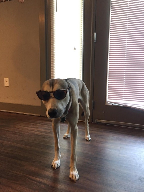 Dog wearing shades and being cool on the hardwood floors