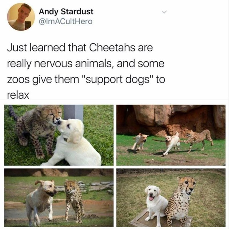 Awesome meme about how cheetahs are super nervous and zoos give them support dogs to chill out