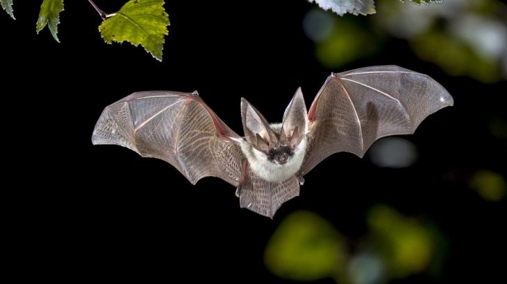 scientists just discovered that bats can use echolocation to find hiding prey