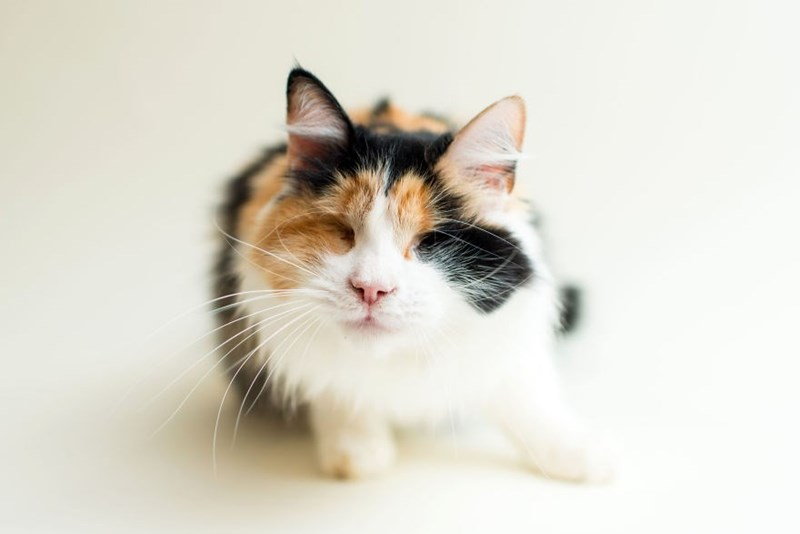 Pixie cat blind and ready to be adopted