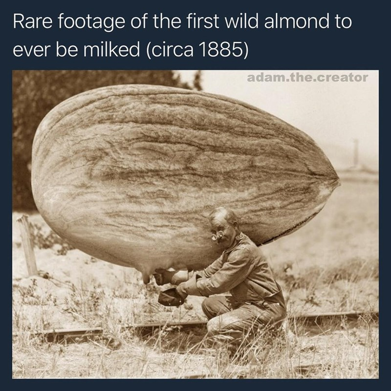Funny photoshop meme of an almond being milked, supposed to be a historical photo of almond milk production.