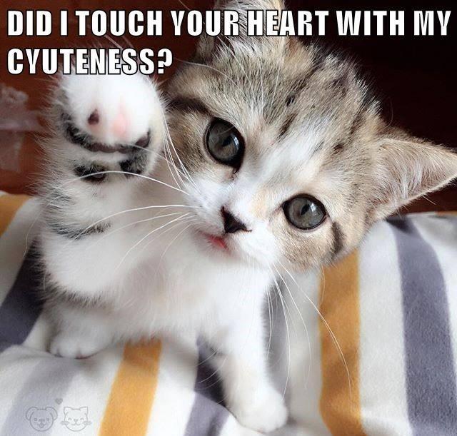 Overly cute cat meme of kitten