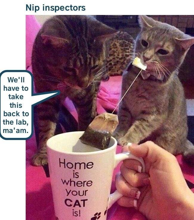 Cat meme of cat mug and cat pulling tea bag out of the cup