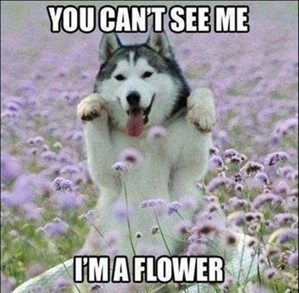 Goofy Husky hiding in a flower field.