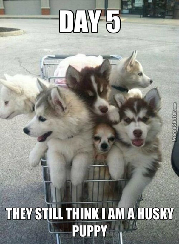 Cute chihuahua dog hiding in a shopping cart full of puppies.