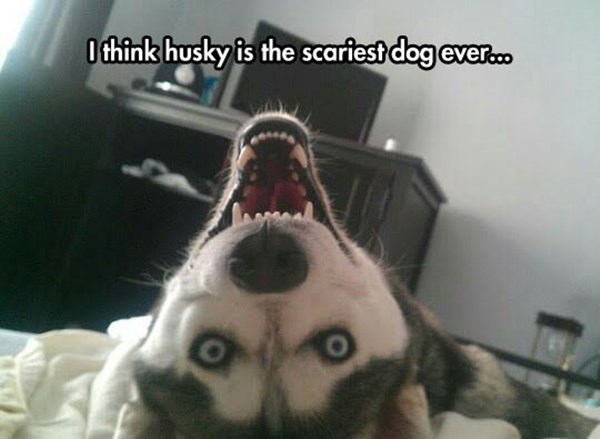 Face - Othink husky is the scariest dog ever..