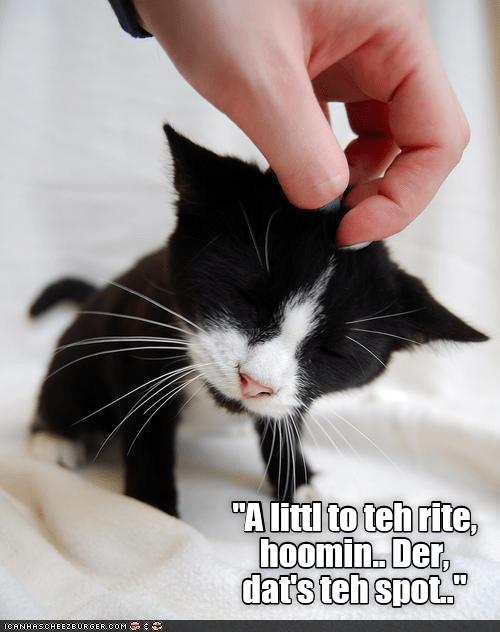 """cat meme - Cat - """"A littl to teh rite hoomin Der, dat's teh spot. ICANHASCHEE2E URGER COM"""