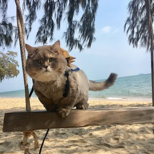 fluffy thailand cat - Cat