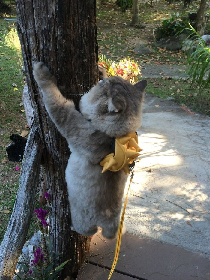 fluffy thailand cat - Koala