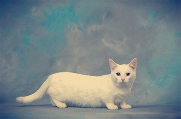 long white munchkin cat in studio